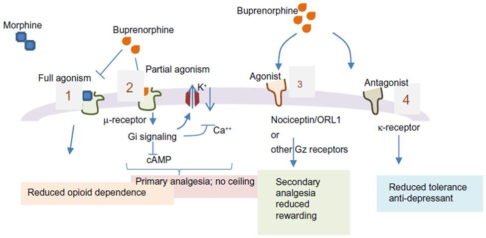Image showing how suboxone and Subutex work